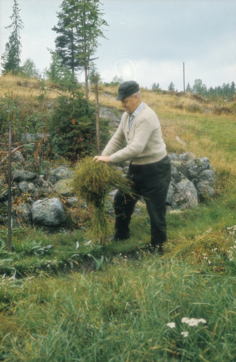 Harstadsetra i Vestmarka. Olav Askerud setter linet på staur til tørking. Det ble satt 10 linbånd på hver staur, med frøene vendt til samme side.