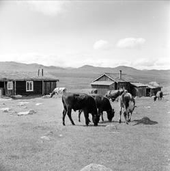 Storhølisætra, Skåbu, Nord-Fron, Oppland, juli 1964. Setertu