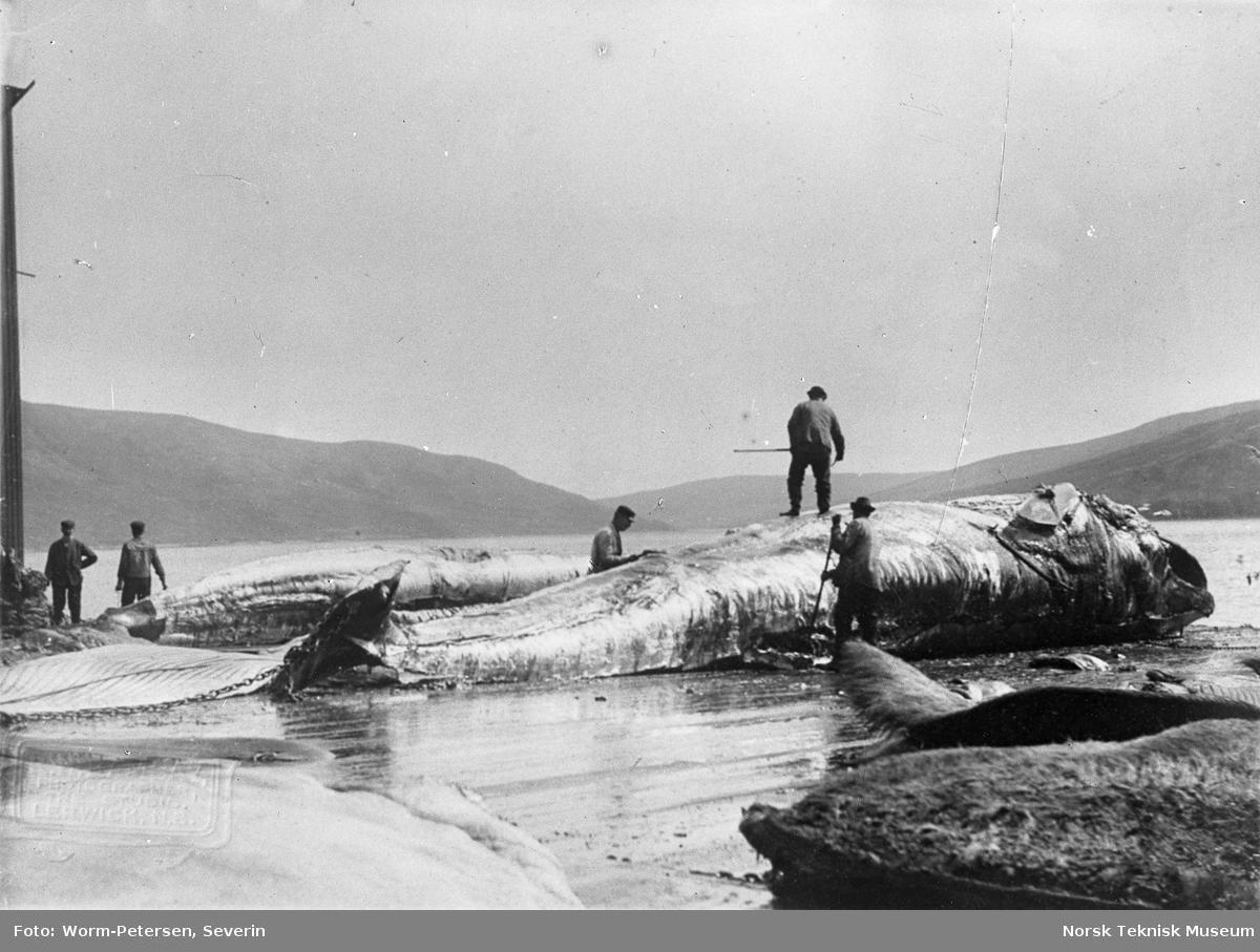 Hvalfangst, arbeid med fanget hval Spitsbergen, sommeren 1906