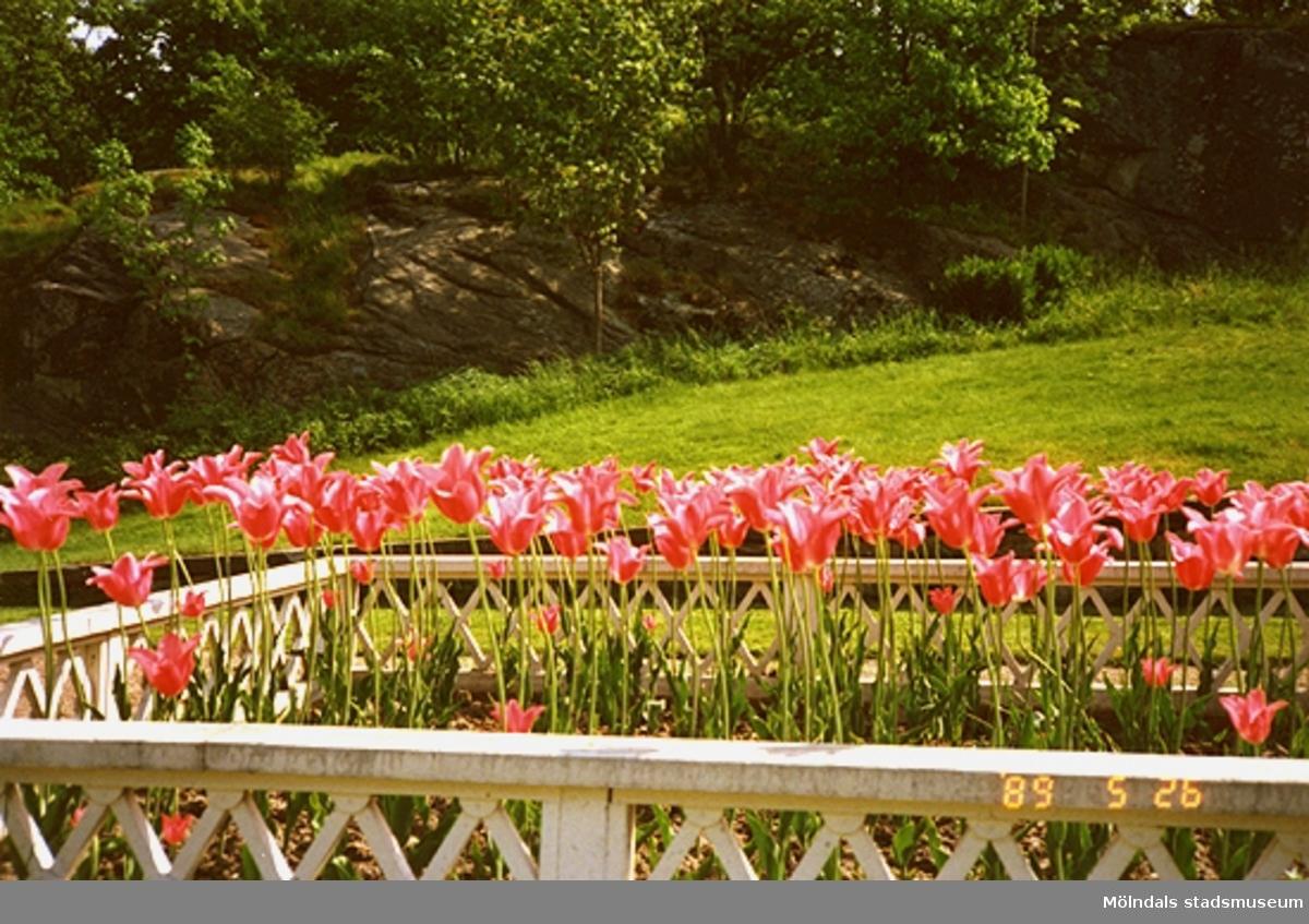En blomsterväxtodling med tulpaner står inhängnad i parken.