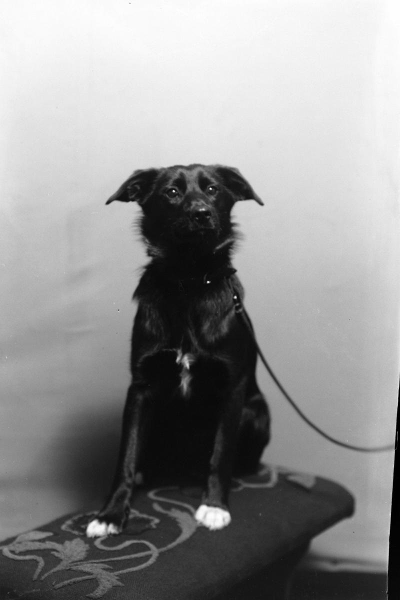 Studioportrett av en hund i bånd.