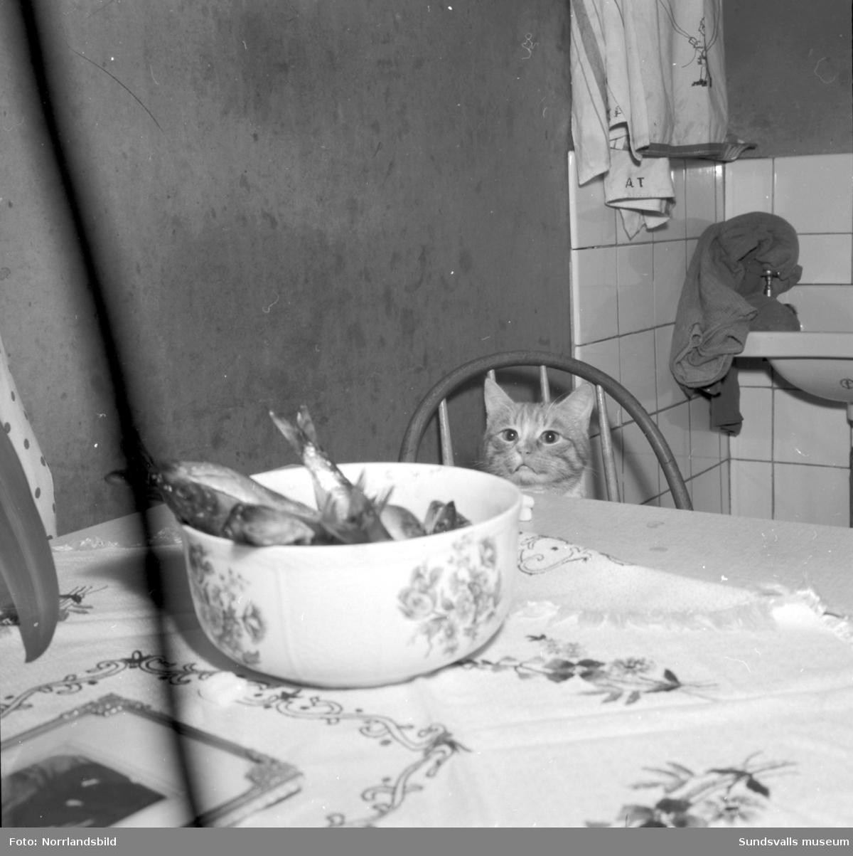 Fru Pålsson i Maj, Njurunda. Hårt arbetande ensamstående mor med sex barn.