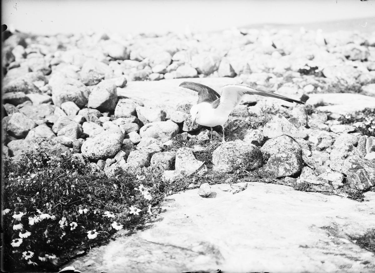 Silltrut vid boet