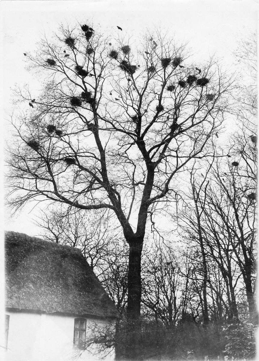 Bo av Råka, Corvus Frugileus. 12 april 1921