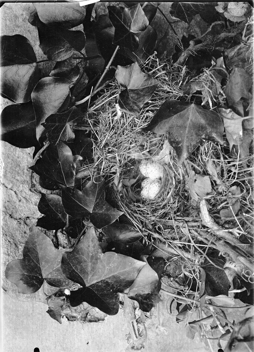Bo av gråsparv, Passer domesticus. Övre täckande delen av boet borttaget. 20 augusti 1921