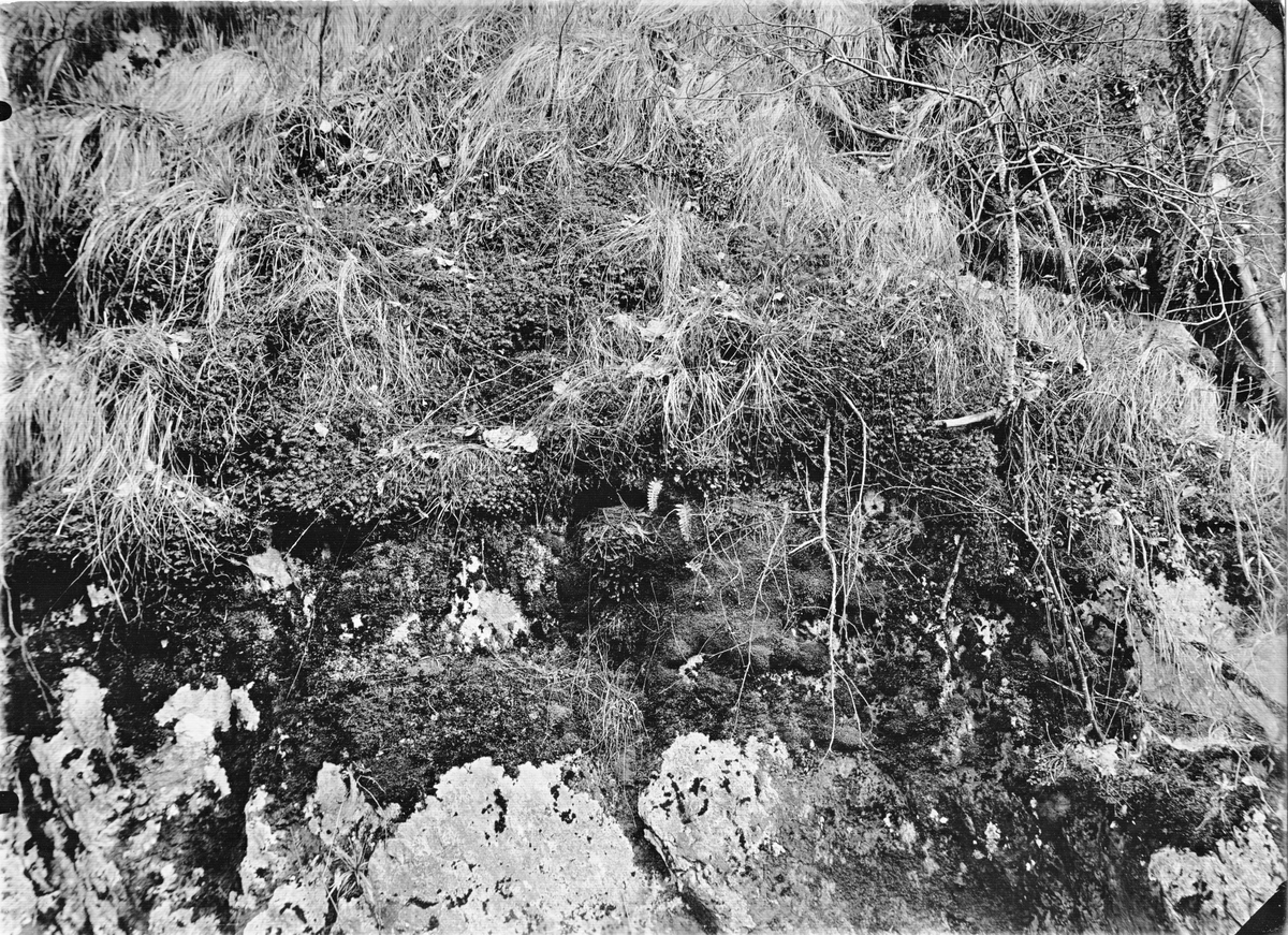 Boplats för bergärla = gråärla Motacilla baorula 11 maj 1937. Boet mitt i bilden till vänster om de 2 små orbunksbladen
