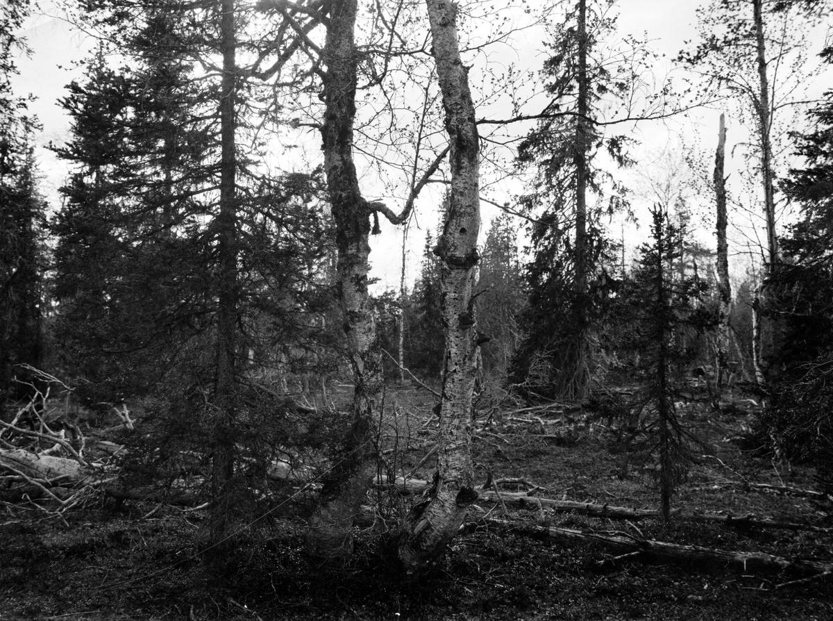 Biotop och boplats Lappmes, Parus lapponicus,  29 Juni 1909. Bohål i björken mitt i bilden