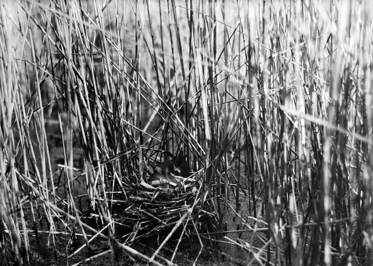 Rörhöna (Gallinula c. chlóropus) vid bo. 11 maj 1914.
