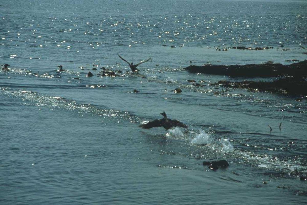 """Landskap. Rikt fugleliv i strandsonen. En sjøfugl er i ferd med å """"ta av""""."""
