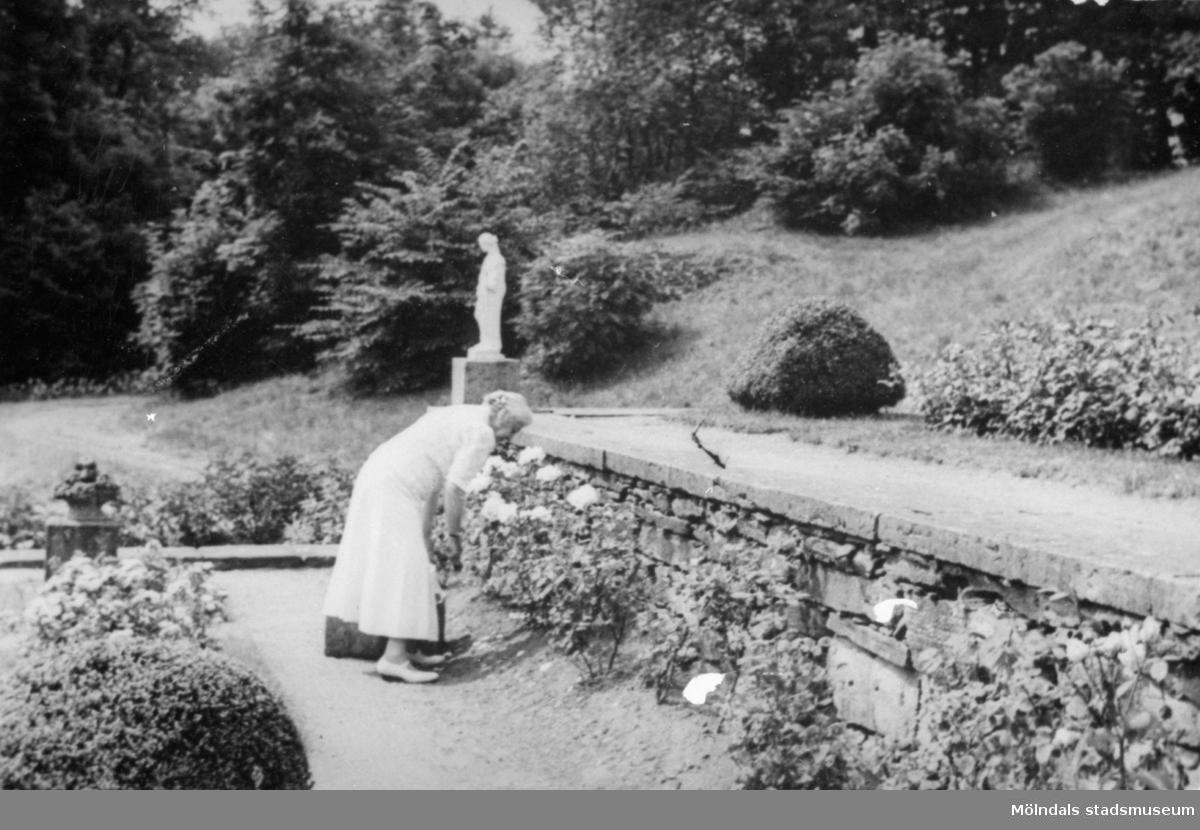 Hilda Sparre plockar rosorna i rabatten. Gunnebo slottspark, 1946.