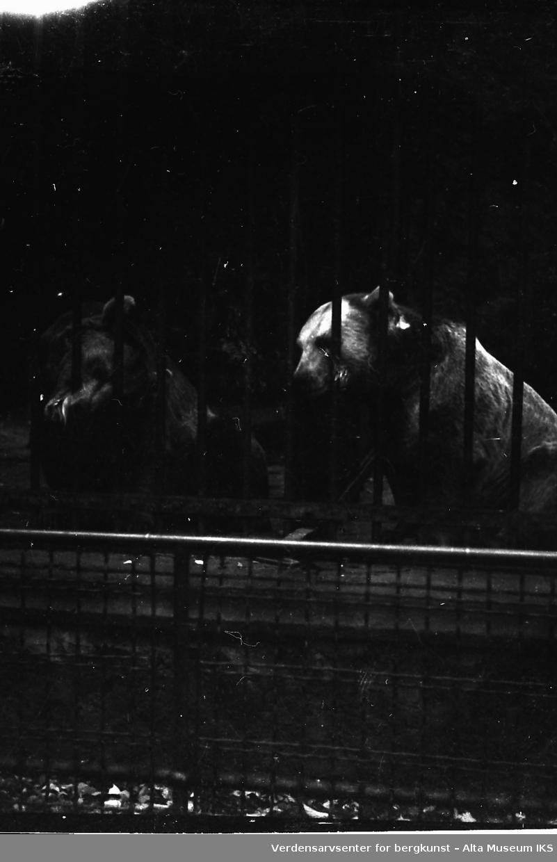 To bjørner bak et gitter i sin innhegning. En av bjørnene biter på gitteret. Bildet er tatt i en dyrehage.