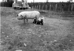 Hund patter gris hos Kristian Beddari, Gjøkåsen.