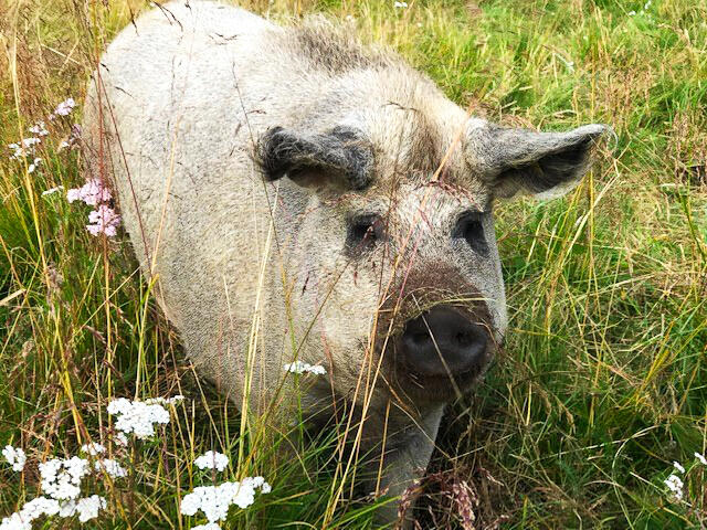 Doktortjønna - gris (Foto/Photo)