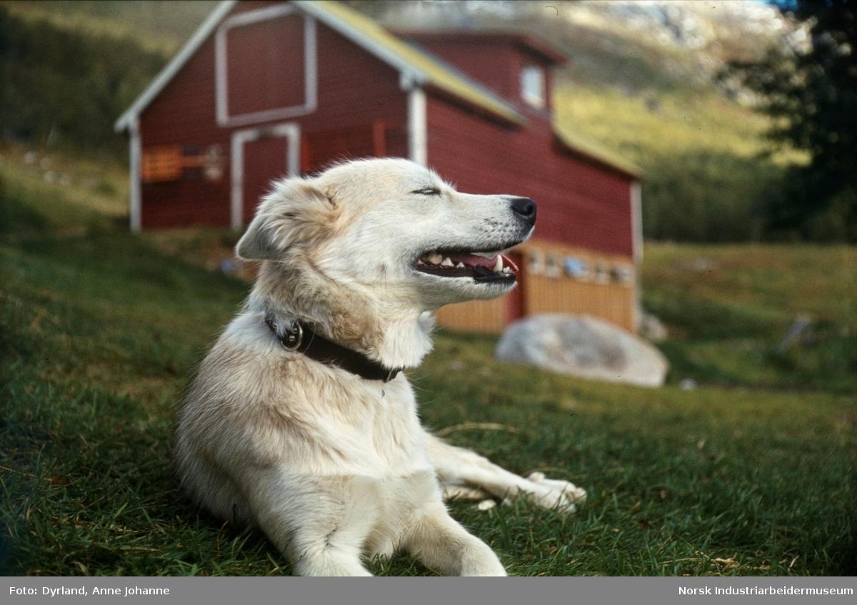 Hund ligger på gresset med lukkede øyne og åpen munn foran låvebygning på Vårli, Møsstrond