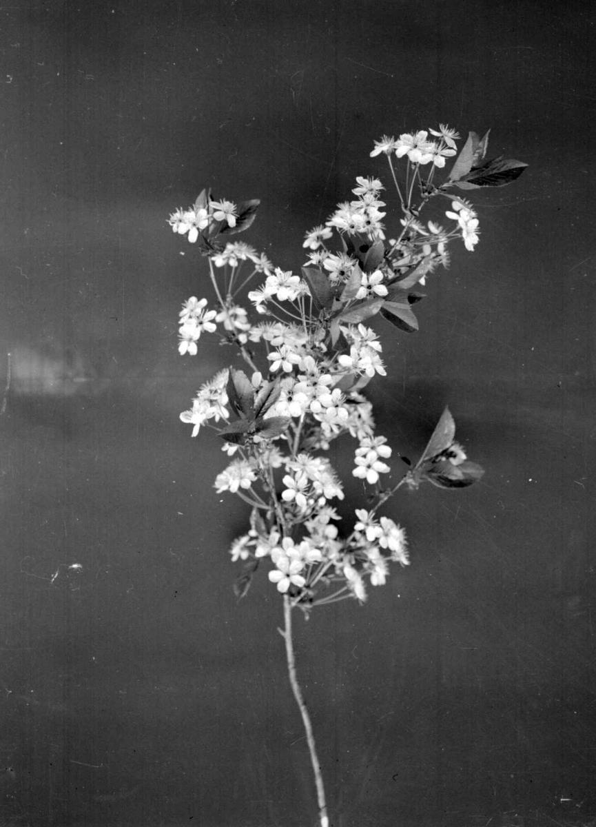 Blomstrende eplekvist.