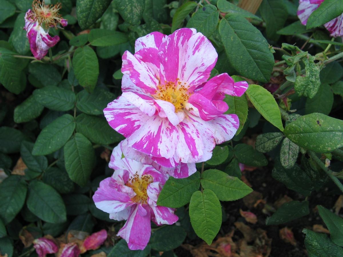 DOK:2007, Bjerkebæk, hage, blomster, rosa mundi,