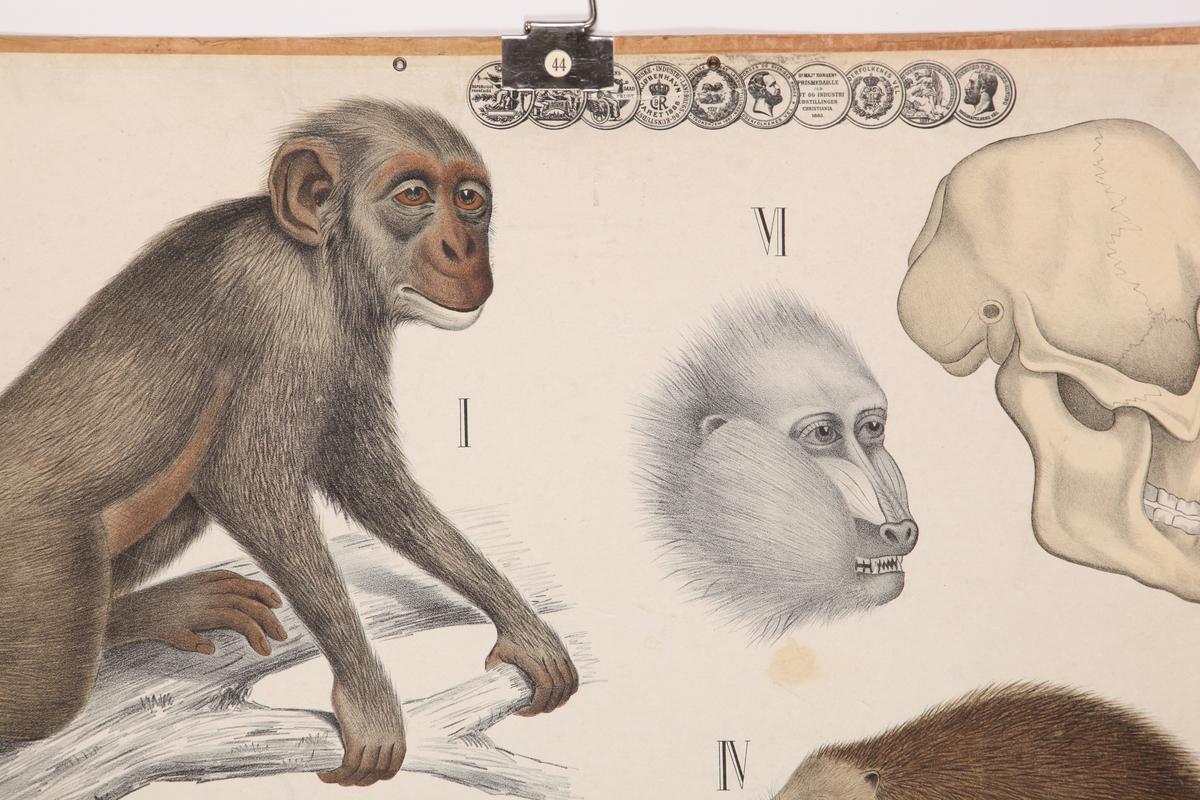 Aper, piggsvin og spissmus med kranier
