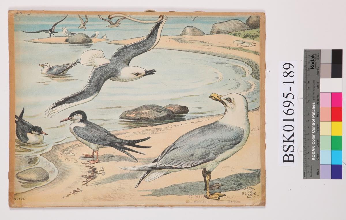 Måkefugler
