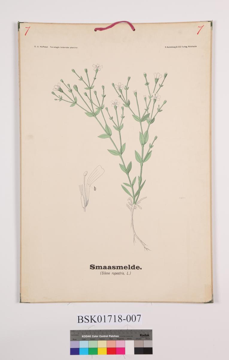 Blomster. Småsmelde