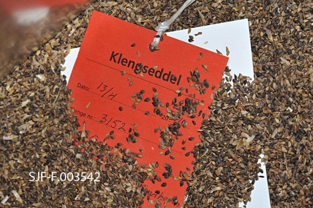 Ferdig renset frø av nordnorsk granfrø (Brønnøy) anno 2010-2011 (2010 var modningsåret).  Frøet er dråpeformet og har litt vekslende farge – noe er lysebrunt, noe nærmest brunsvart.  Denne lille frøprøven er hentet fra et parti som nettopp hadde gjennomgått avvinging og rensing, og som følgelig var klart for fryselagring på lufttette kanner. Midt i frøprøven ligger to sedler av tjuklt papir, sammenbundet med en gråkvit plasthyssing.  Den øverste er en rød klengseddel som blant annet viser at dette frøet er klenget i den røde klenga, under ligger en kvit seddel med proveniensinformasjon.  De nevnte sedlene skal knyttes på den lufttette plastkanna frøet skal fryselagres i.  All informasjon om proveniens og frøbehandling skal også tastes inn i en elektronisk beholdningsdatabase, som er et viktig verktøy både i frøhandelen og i planlegginga av eventuell ny konglesanking.