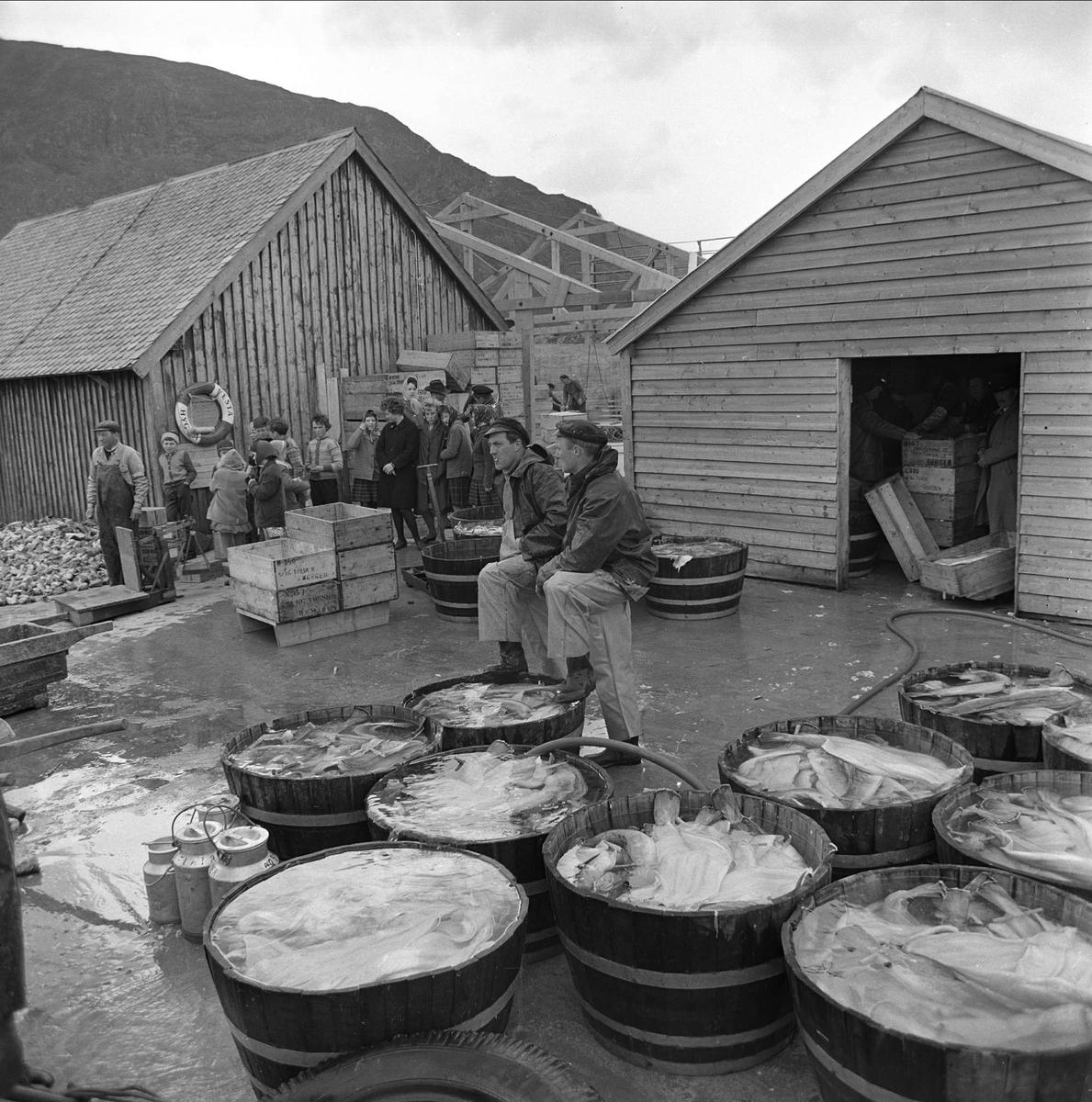 Fiskebrygge, fiskere, stamper med fisk, Nordfjord?, mai 1963.