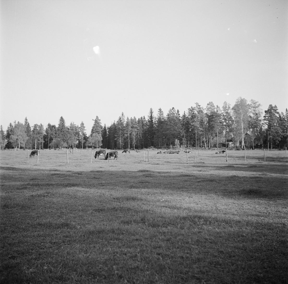 Kor på bete, sannolikt Uppland 1937