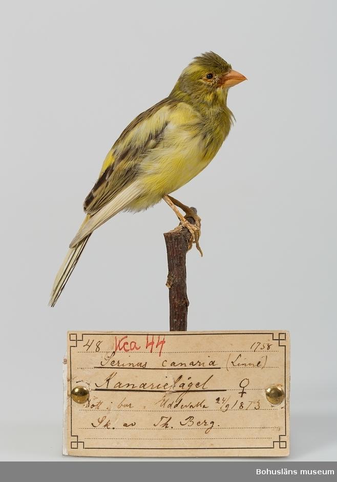 Text på handskriven etikett: 48. Kca 44. Serinus canaria (Linné 1758) Kanariefågel Hona. Dött i bur i Uddevalla 24/9 1873. Sk. [Skänkt] av Th. Berg.  Ur handskrivna katalogen 1957-1958: Kanariefågel  Lappkatalog: