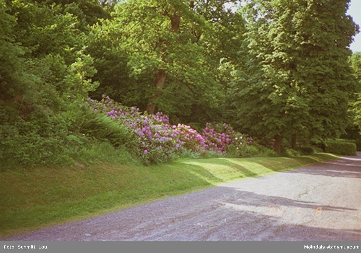 En sluttning med lila rhododendronbuskar i full blom. Dessa står omgärdade av träd. Framför växterna löper en grusväg.