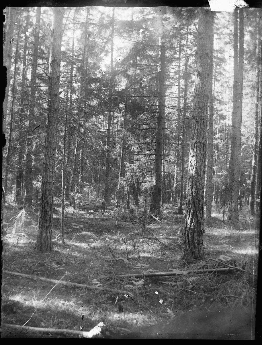 Barrskog vid genvägen till Säffle.