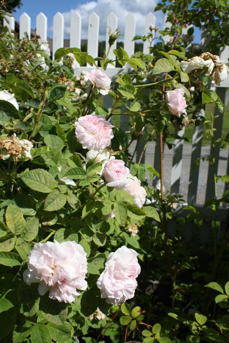 Roser (Foto/Photo)