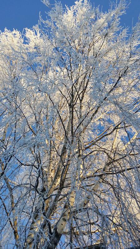Foto av en bjørk med frost på om vinteren
