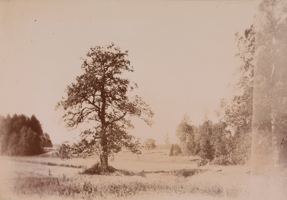 Et stort tre i midten av en åker.