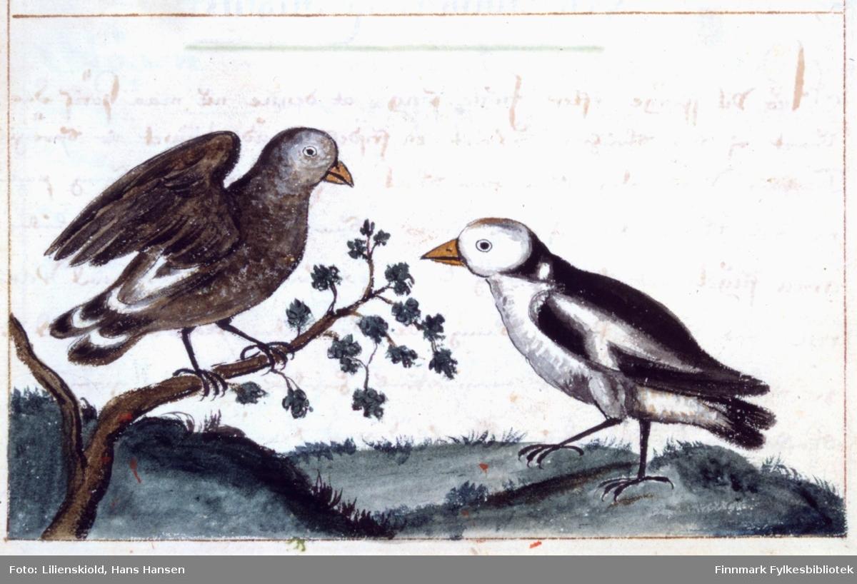 Illustrasjon til beskrivelse av snøspurv