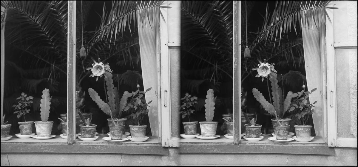 Stereonegativ av fönster med blommor i. Troligen Thorvald Gehrmans hus, Hedemora.