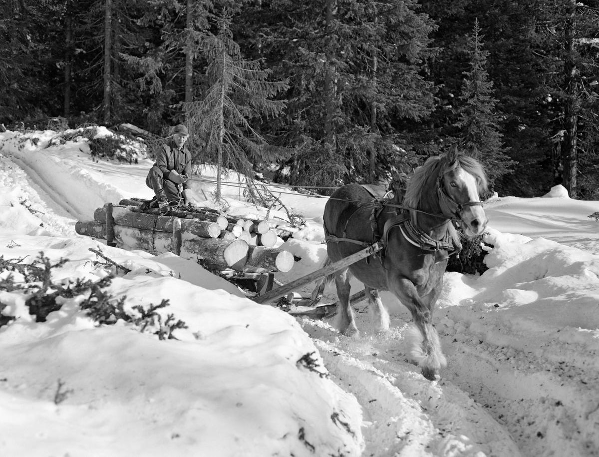 Arbeid i skogen. Kåre Østerhaug i Lundsberget i Trysil 1977.