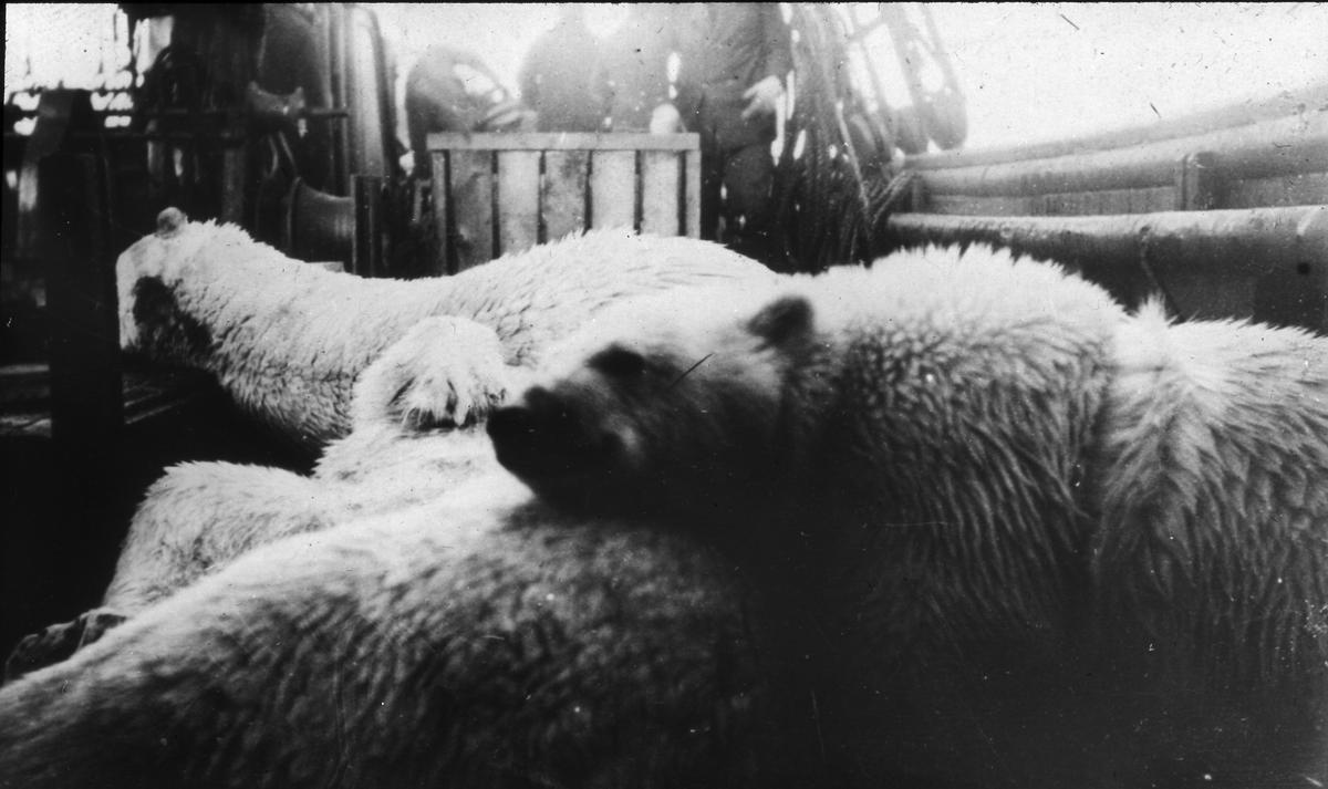 Döda isbjörnar ombord på Bratvaag. Diapositiv, glas.