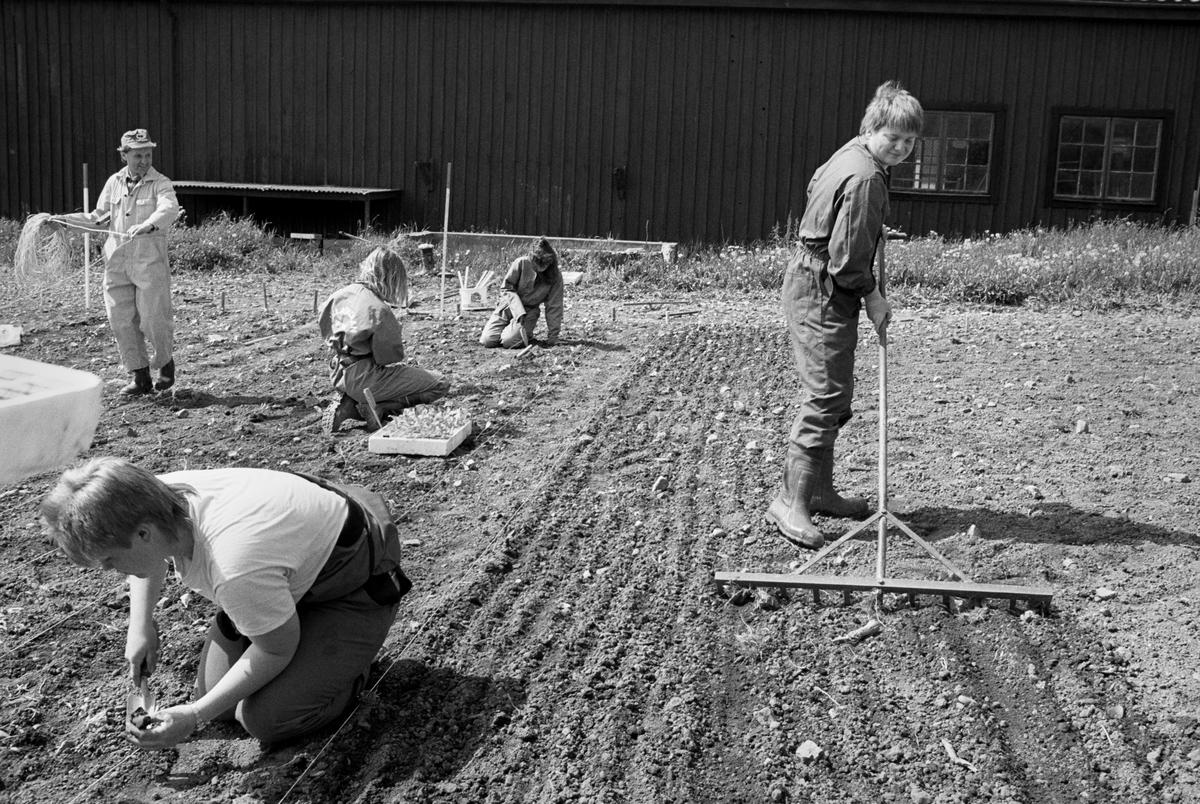 Plantering på Jälla Lantbruksskola, Uppland 1990