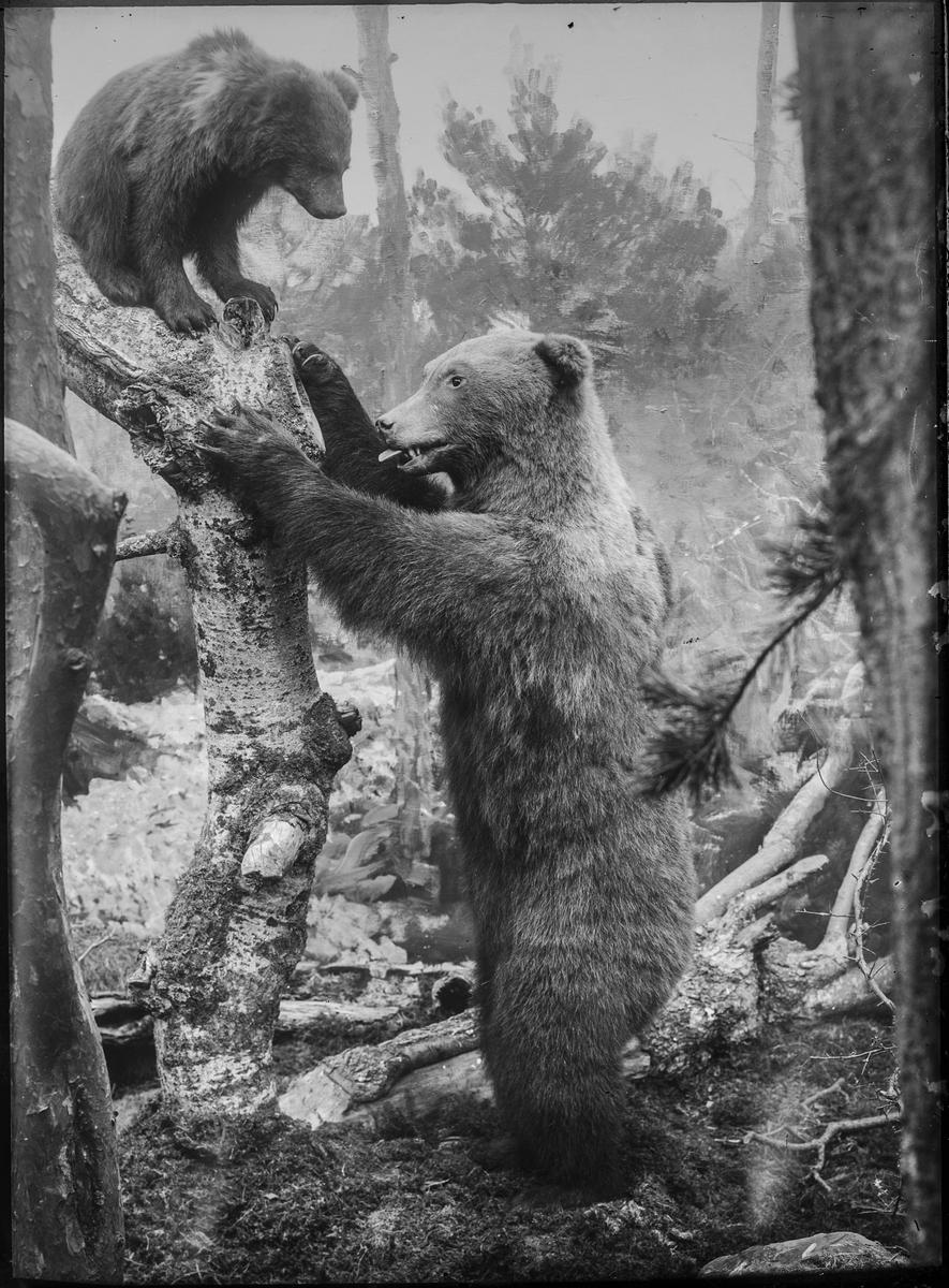 Diorama från Biologiska museets utställning om nordiskt djurliv i havs-, bergs- och skogsmiljö. Fotografi från omkring år 1900. Biologiska museets utställning Björn Brunbjörn Ursus Arctos (Linnaeus)
