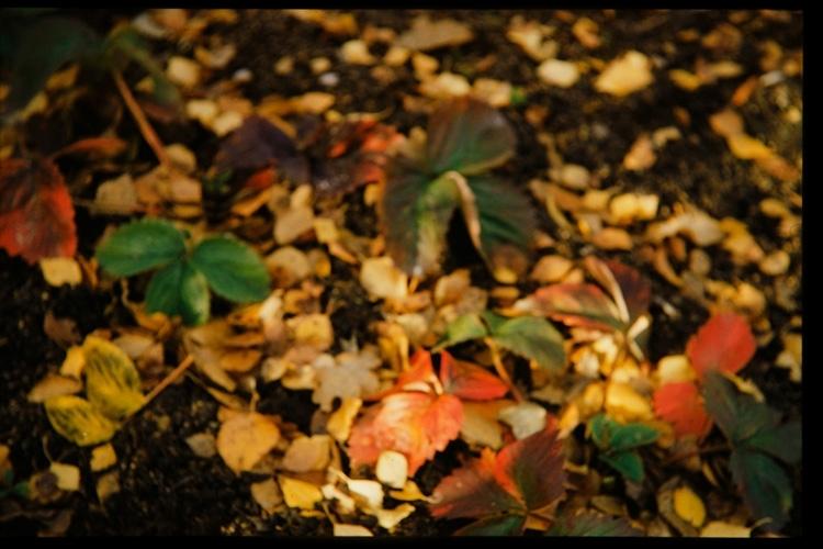 Jordgubbsplanta med  höstfärgade blad.