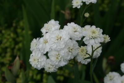 Fylt nyseryllik (Achillea ptarmica 'Flore Pleno')