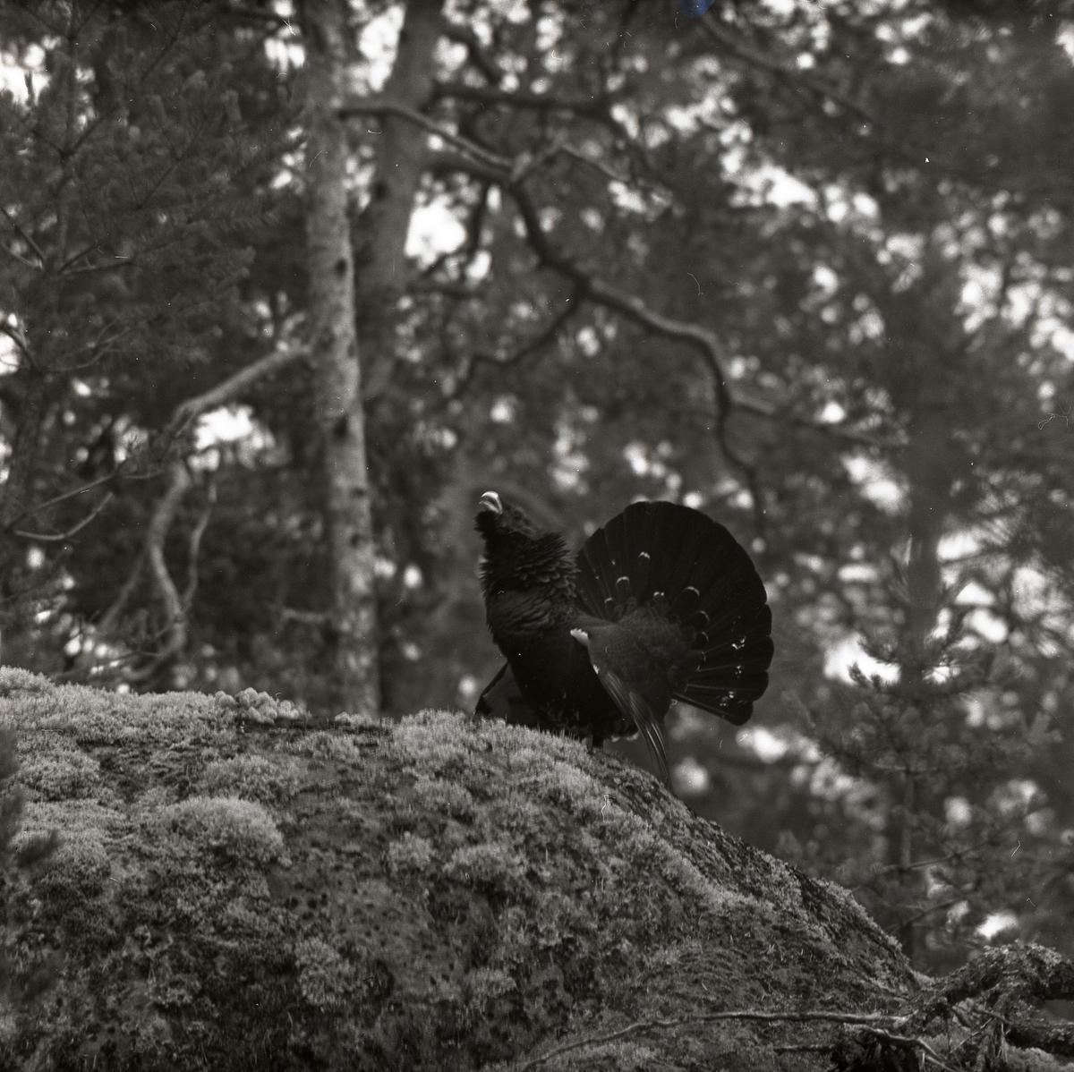 Stjärtfjädrarna är uppresta och fjäderdräkten fluffig när tjädertuppen spelar på en mossig sten. Bakom stenen kan  skogen urskiljas med sina attribut som tallar, granar och lövträd.