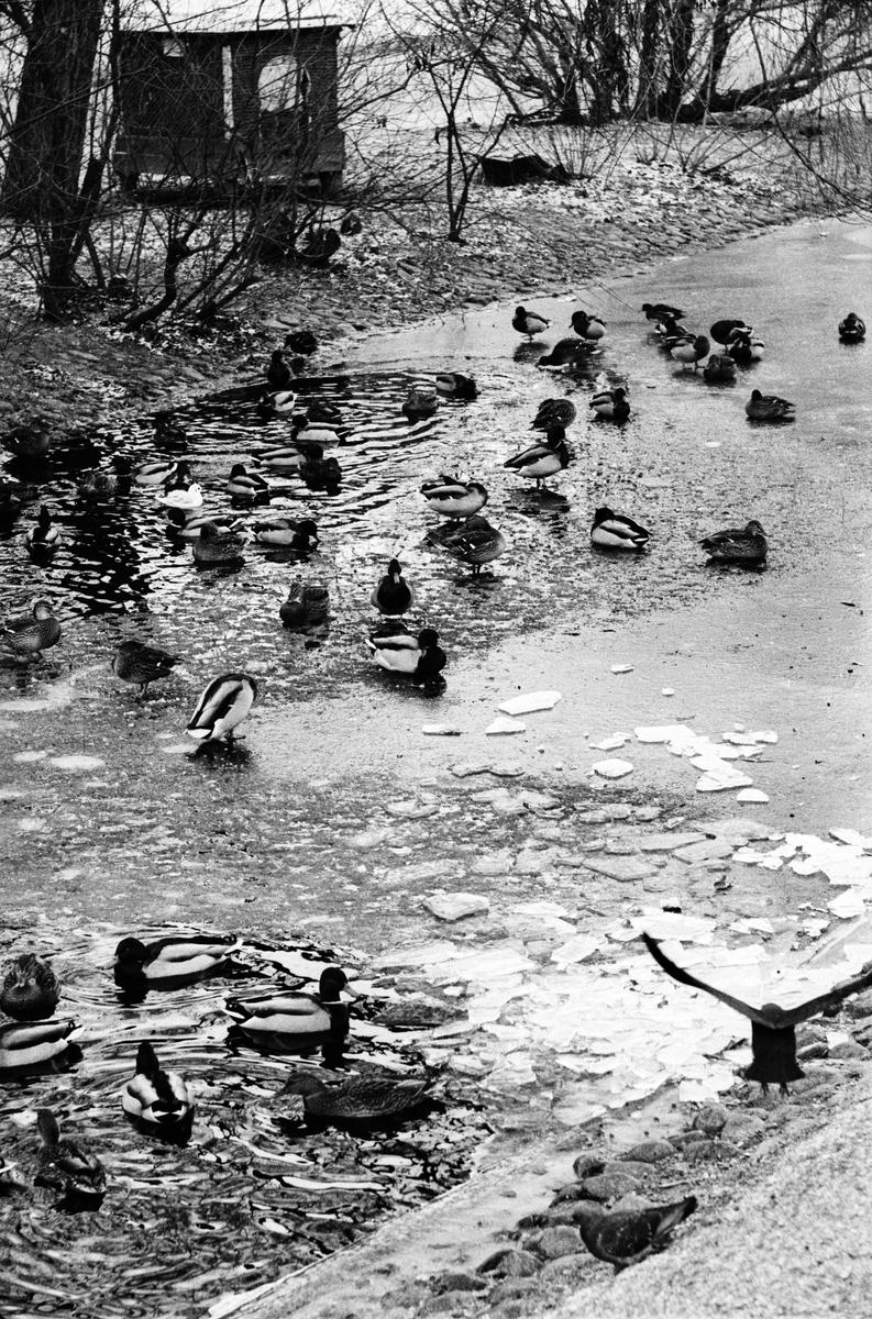 """Svandammen - """"första riktiga vinterdagen"""", Uppsala 1962"""