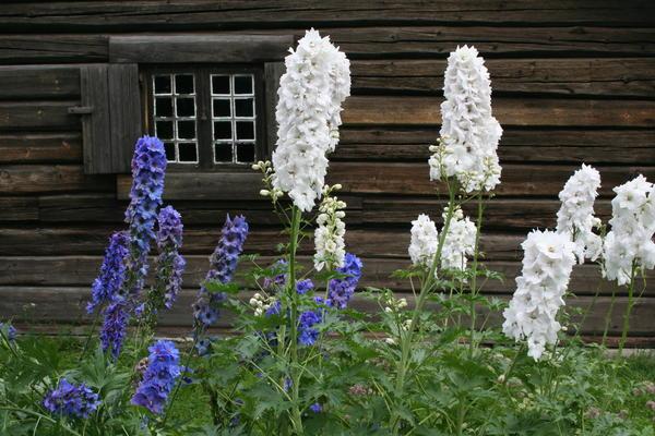 Hageridderspore (Delphinium elatum-gruppen). Foto/Photo