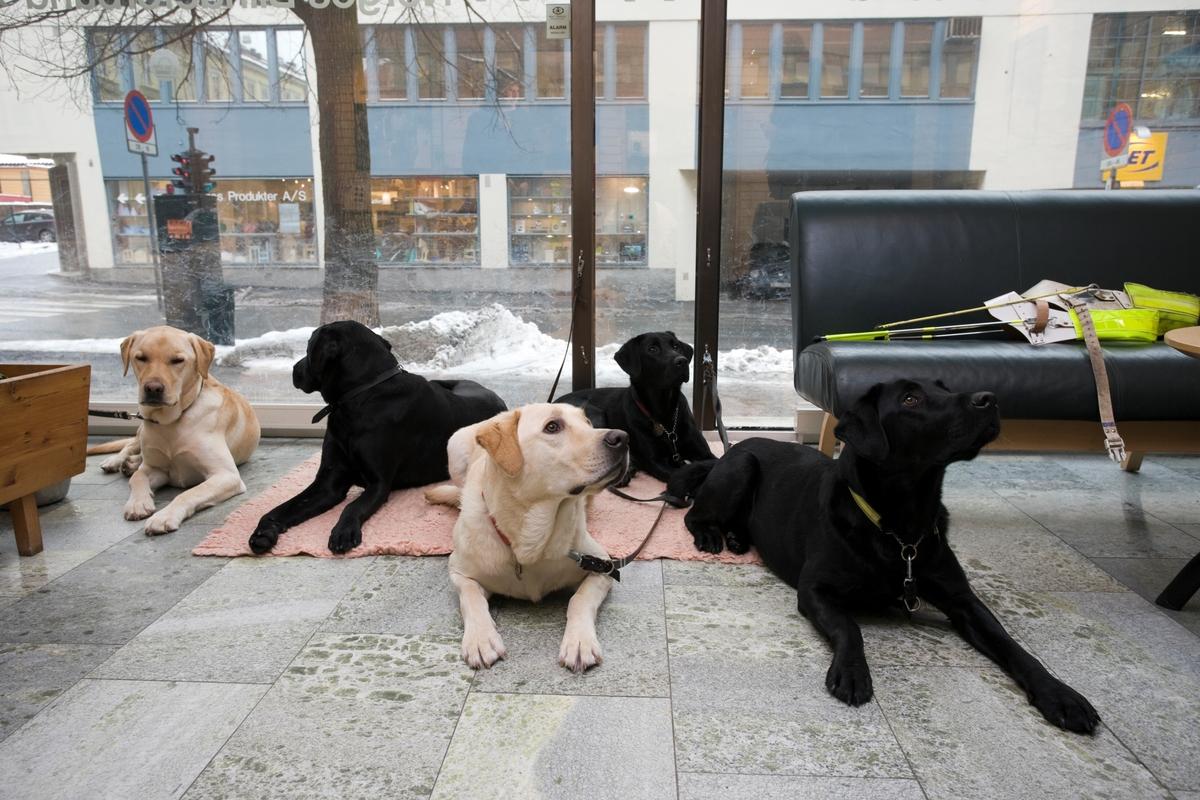 Førerhundskole. Fire hunder ligger i lokalene til Norges Blindeforbund på Majorstuen.