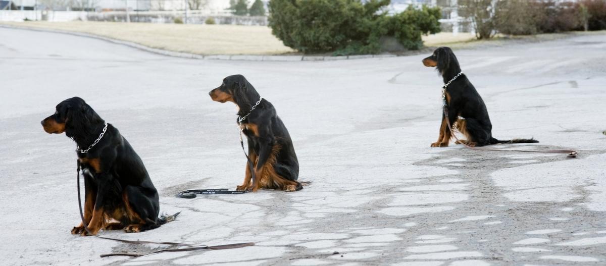 Dressurkurs for hund. Hunder venter på kommando.