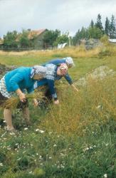 Høsting av lin på Harstadsetra i Vestmarka 1975
