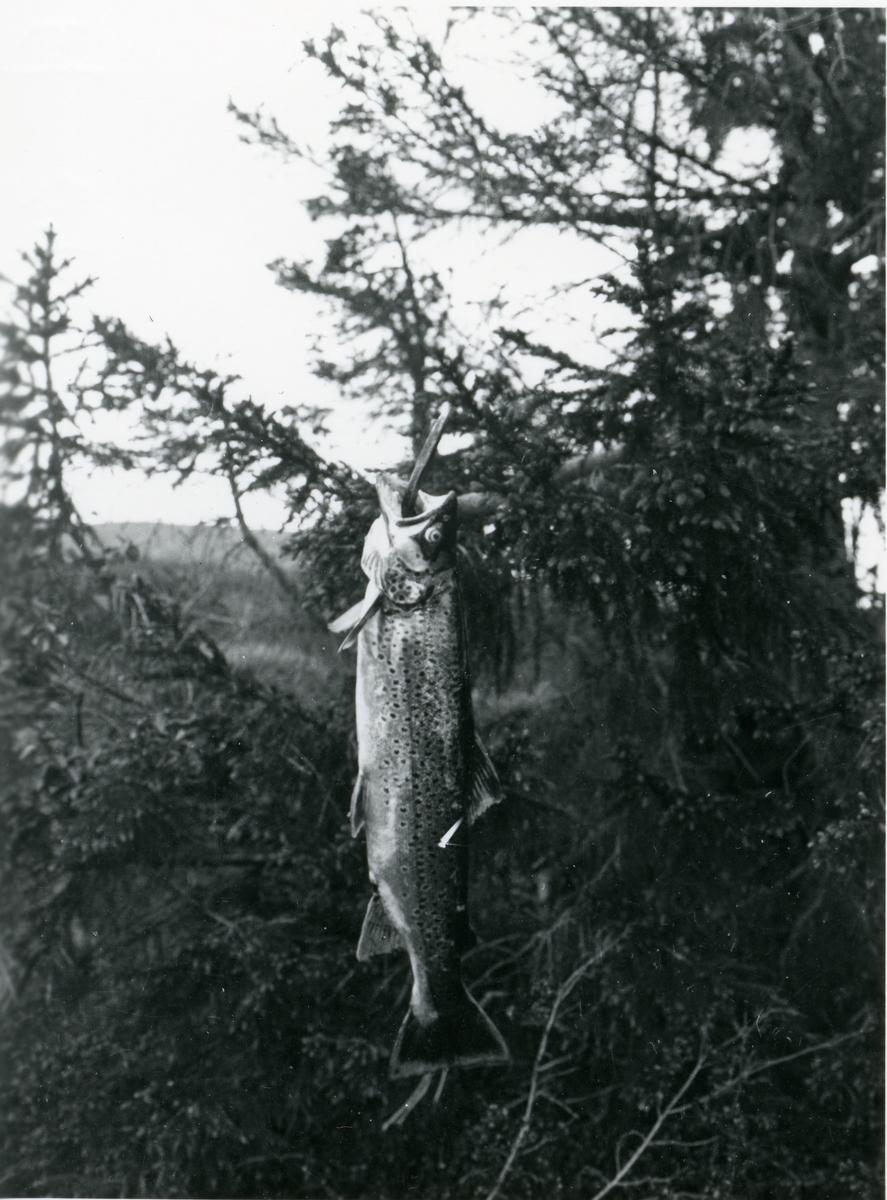 Fiske. Per Listrud, Ingvar Kløvrud og Urmaker Røang tok ein storfisk i Øytjernet på Hellebekkseter.