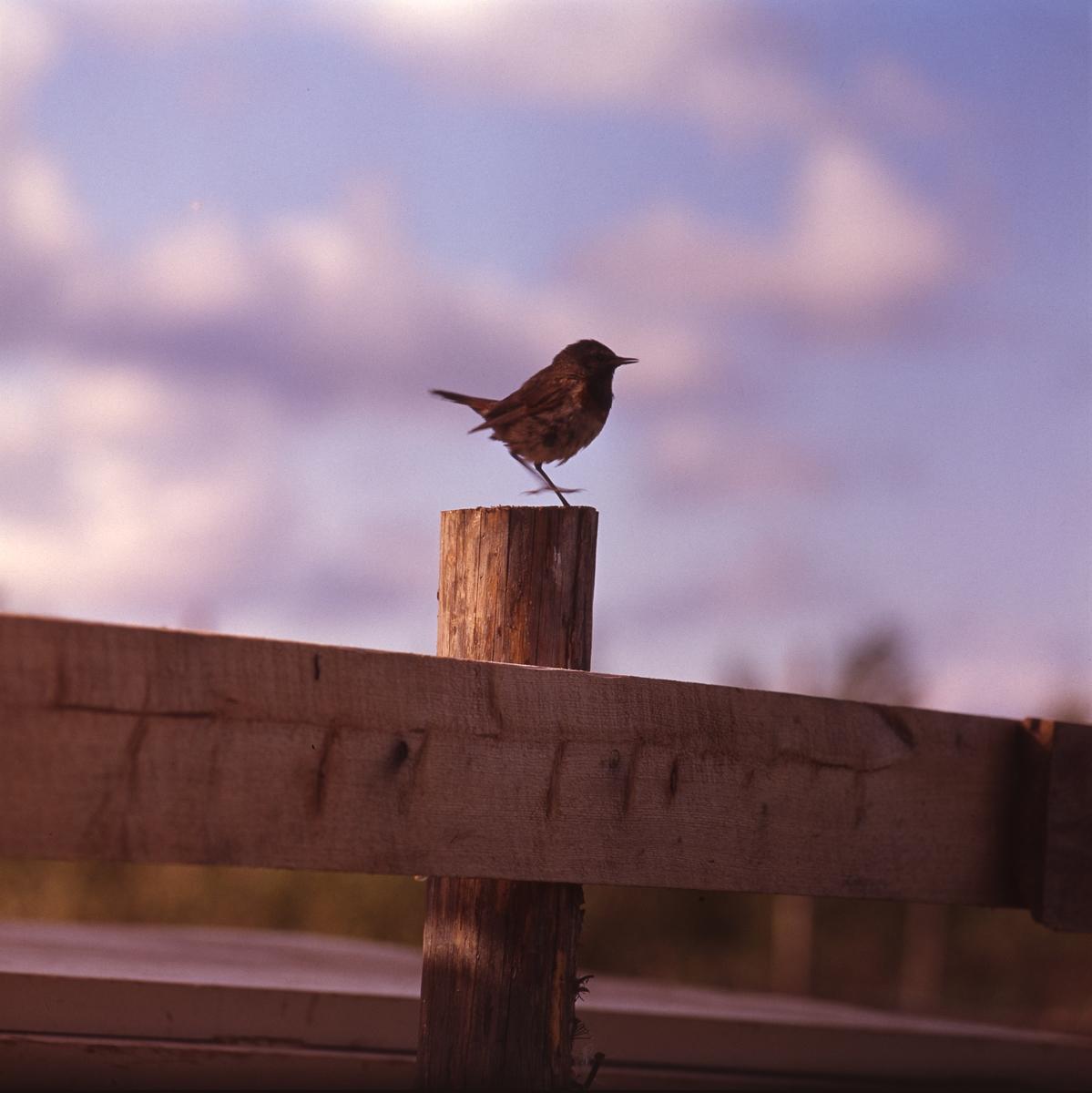 Liten fågel sitter på en staketstolpe. Blå himmel med moln i bakgrunden.