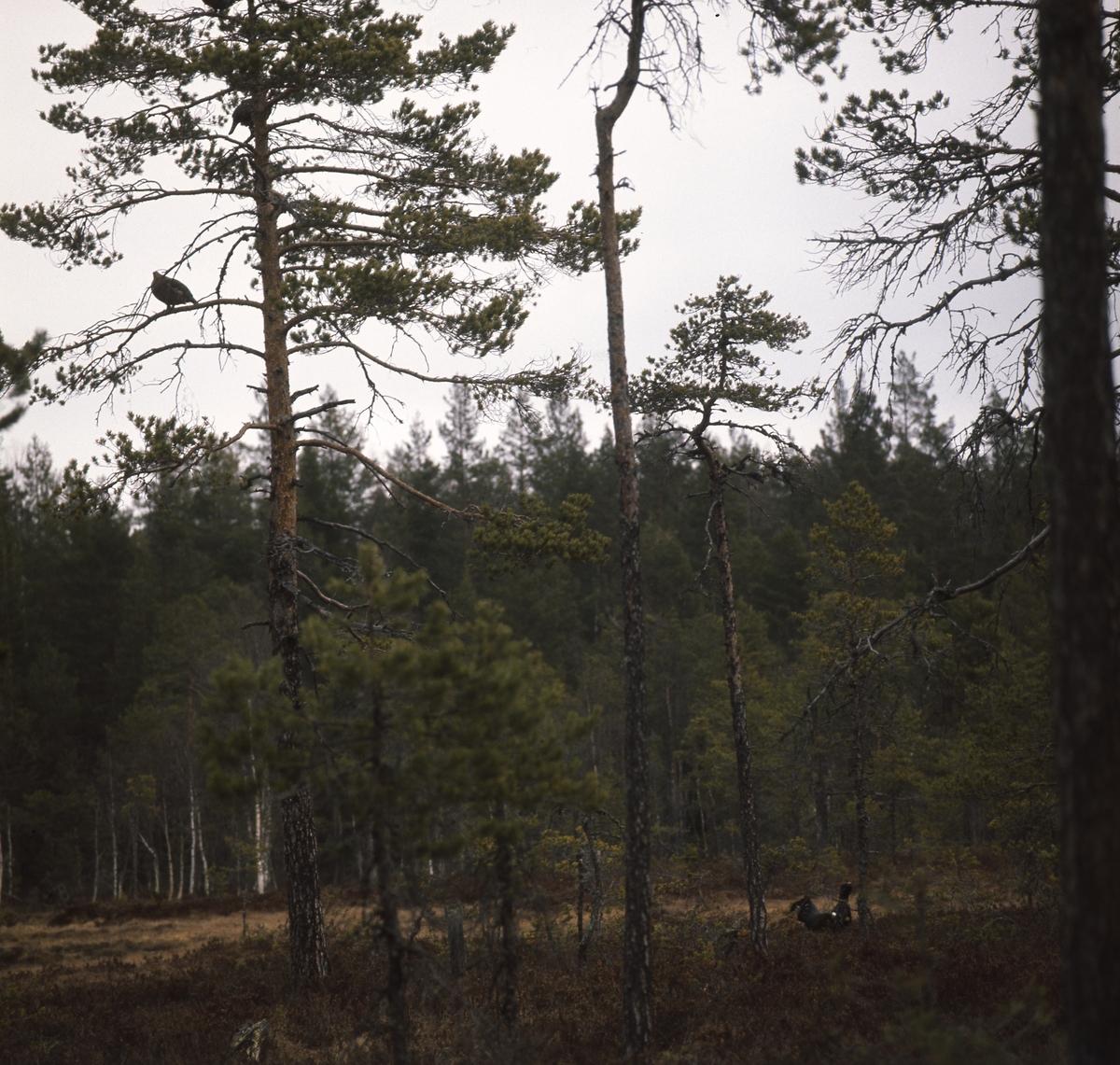 En tjädertupp i skogskanten vid en myr.