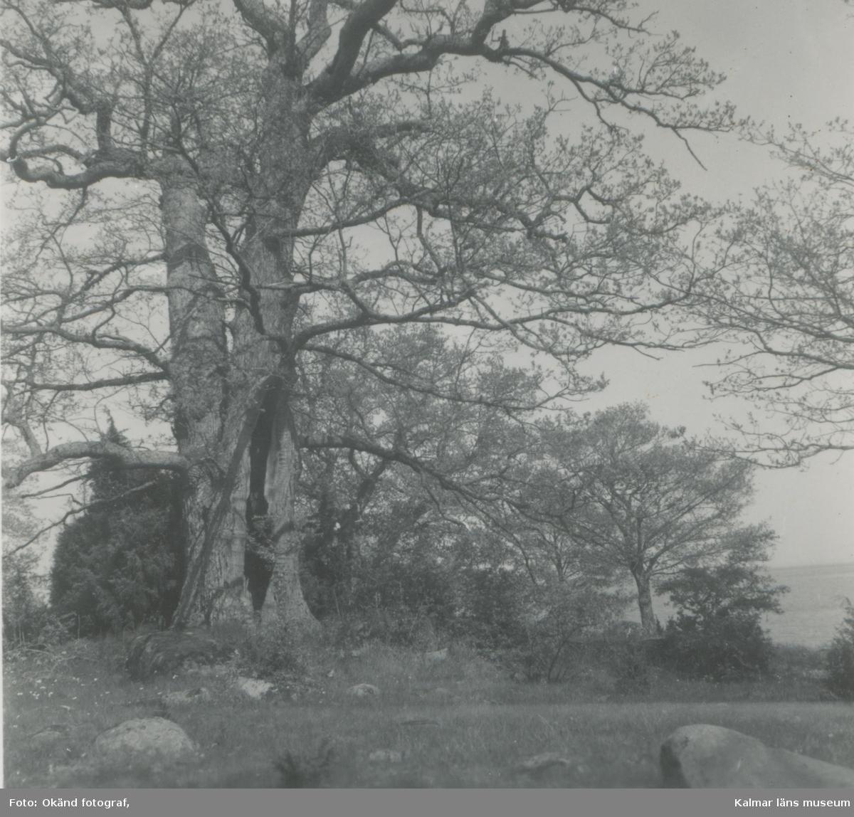 Ett träd på Storön vid Värnanäs.